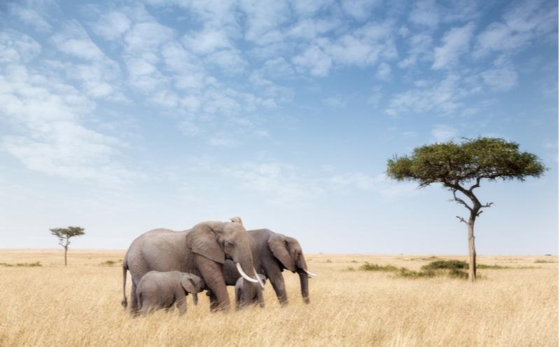 savane éléphant